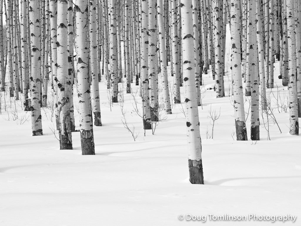 Winter Aspens B&W -1336