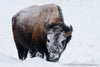 Winter Bull Bison - 1391