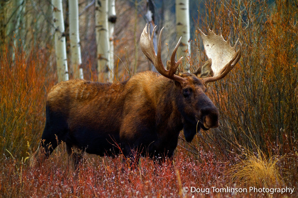 Wise Old Moose - 1044