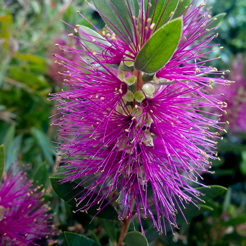 Callistemon Perth Pink