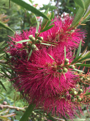 Callistemon palludosus 'Purple'