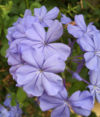 Plumbago capensis Dark Blue