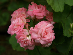 Grainger's Antique Rose