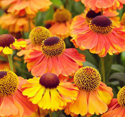 Helenium 'Sahin's Early Flowering'
