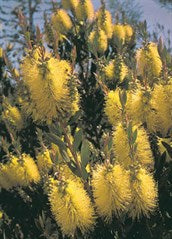 Callistemon 'Havering Gold'