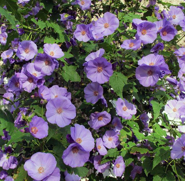 Abutilon Suntense Fibrex Nurseries Ltd