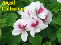 Picture of Angel Collection