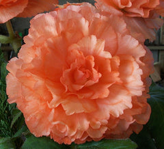 Picture of Apricot Delight