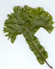 Picture of Asplenium scolopendrium (Cristatum group)