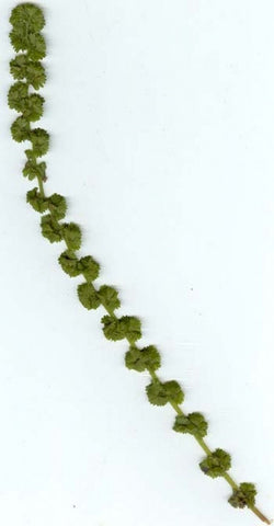Picture of Athyrium filix-femina Frizelliae  (Tatting Fern)