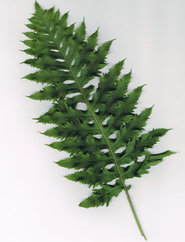 Polypodium cambricum 'Barrowii'
