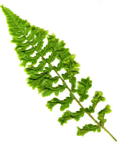 Dryopteris affinis grandiceps Askew