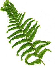 Picture of Dryopteris filix-mas grandiceps Wills