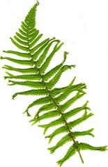 Picture of Dryopteris affinis Mapplebeck (Synonomous. Dryopteris affinis Mapplebeck)