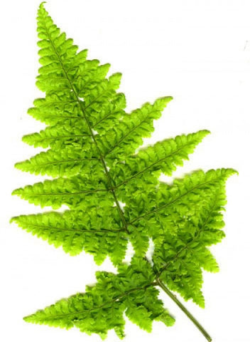 Picture of Dryopteris dilitata crispum Whiteside