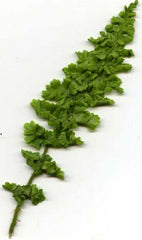 Picture of Dryopteris affinis crispum Stablerii