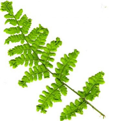 Picture of Dryopteris dilitata grandiceps