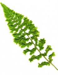 Picture of Dryopteris affinis cristata angustata