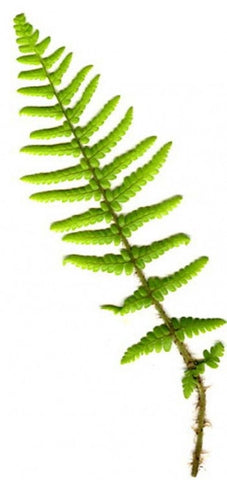 Picture of Dryopteris affinis
