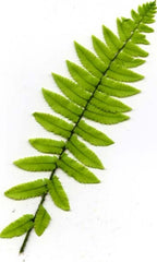 Picture of Dryopteris cycadinia