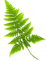 Picture of Dryopteris dilitata (Broad Buckler)