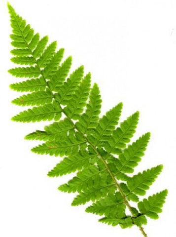 Dryopteris filix-mas (The Male Fern)