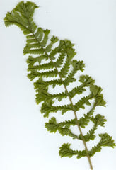 Picture of Dryopteris filix-mas cristata Jackson