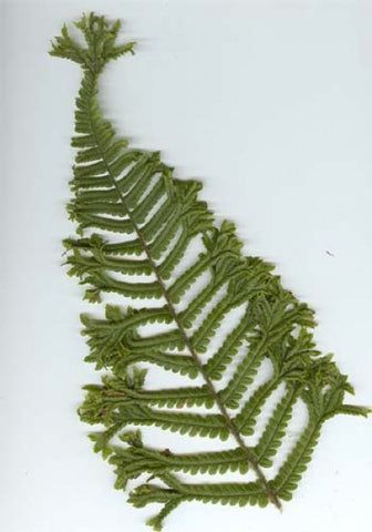 Dryopteris affinis cristata  (The King Fern)