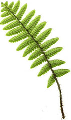 Picture of Dryopteris wallichiana