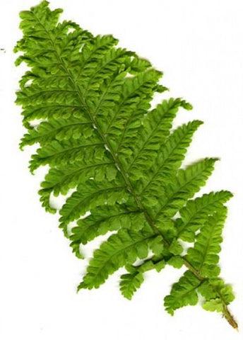 Picture of Dryopteris filix-mas crispa