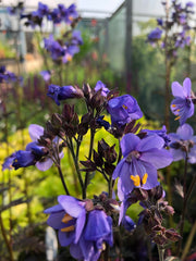 Polemonium 'Bressingham Purple