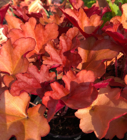 Heuchera Peach Flambe
