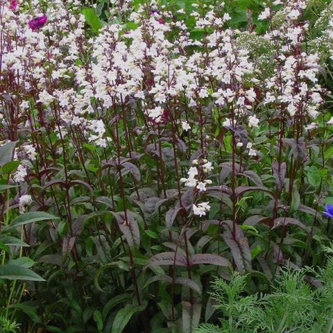 Penstemon digitalis x 'Husker Red'
