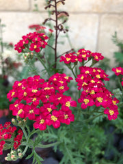 Achillea millefolium 'The Beacon'