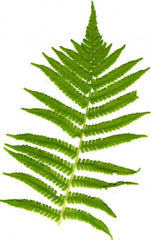 Picture of Matteuccia struthopteris (shuttlecock fern, ostrich feather fern)