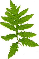 Picture of Onoclea sensibilis (sensitive fern, bead fern) green form