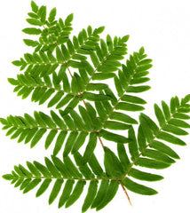 Picture of Osmunda regalis (Royal Fern)