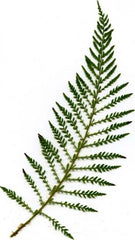 Picture of Polystichum setiferum lineare