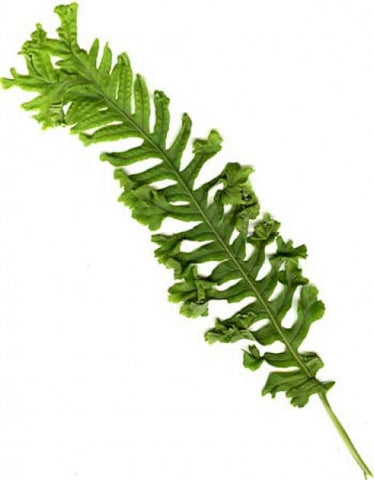 Picture of Polypodium cambricum cristatum