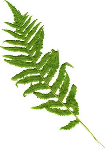 Picture of Polypodium glycrrhiza