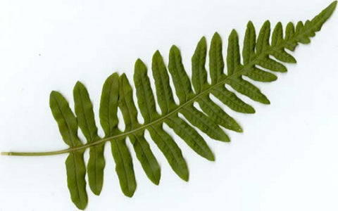Picture of Polypodium vulgare (The Common Polypody)