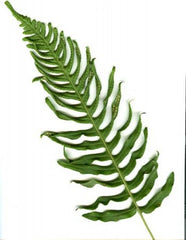Picture of Polypodium x Mantoniae