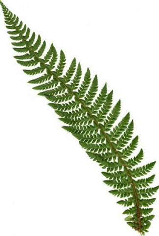 Polystichum aculeatum (Hard Shield or Hard Prickly Shield Fern)