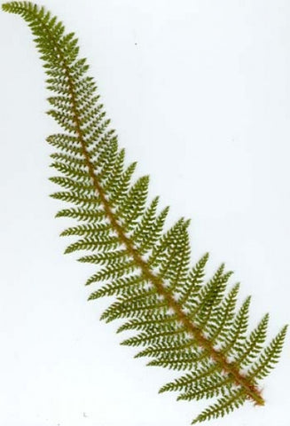 Polystichum setiferum (Divisilobum group)
