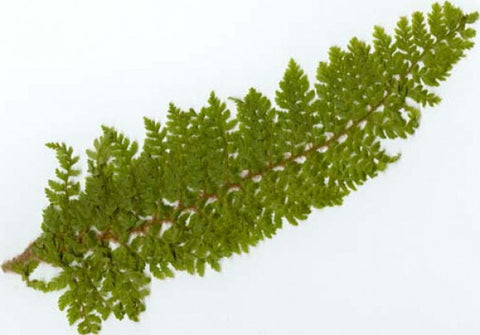 Picture of Polystichum setiferum Multilobum