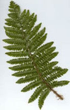 Picture of Polystichum polyblepharum