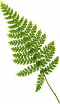 Picture of Polystichum Braunii