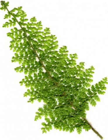 Picture of Polystichum setiferum Plumoso Divisilobum-group