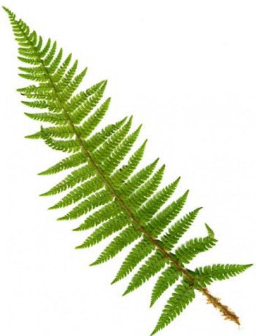 Picture of Polystichum setiferum  (Soft Shield Fern)