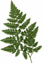 Rumhora adiantiformis (Leather leaf fern)
